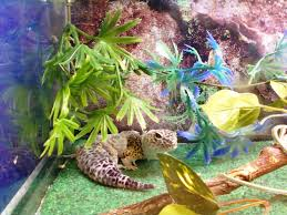 Do Baby Leopard Geckos Shed by Leopard Gecko More To Explore