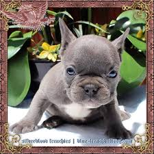 Dogs That Dont Shed Hair Much by Blue Pit Bull Puppies For Sale Bluenose Pitbulls