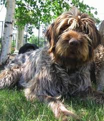 Griffon German Wirehaired Pointer Shedding by Wirehaired Pointing Griffon Dog Breed Information And Pictures