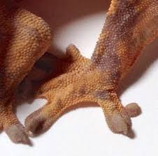 Crested Gecko Shedding Behavior by Polydactyl Crested Geckos Examples And Genetic Factors