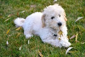 Non Shedding Husky Cross by Labradoodle Labrador Retriever And Poodle Mix Spockthedog Com