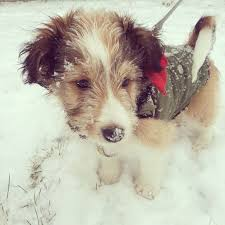 Sheltie Shedding Puppy Coat by Shelchon Sheltie Bichon Frise Mix Info Temperament Puppies