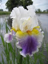photo of bearded iris iris beacon of light uploaded by
