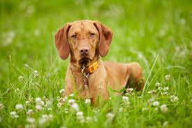 Do Vizsla Dogs Shed by Intriguing Facts About The Very Intelligent Vizsla Dog Breed