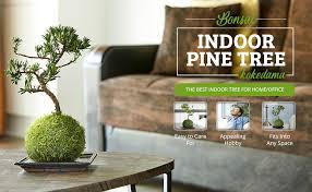 zimmerbonsai bonsai pinie kokedama 9 jahre alt deko