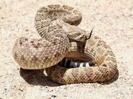 Snake Skin Shedding Lucky by Snake Symbolism A Message Spirit Animal Totems