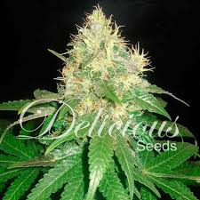 Northern Light Blue Feminized Cannabis Seeds