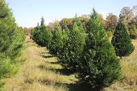 Is Your Christmas Tree An Eastern Redcedar