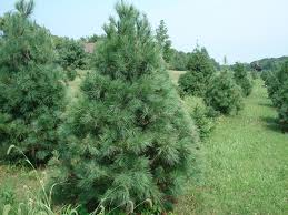 Canaan Fir Christmas Tree Needle Retention by Fly A Way Farm Choose And Cut Christmas Trees Delaware Oh
