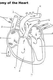 Heart Anatomy Coloring Pages 17 Trend Thumbnail Size