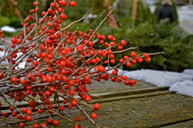 Winterberry Christmas Tree Farm by Christmas Tree Hunting U0026 Ice Skating Running On Peanut Butter