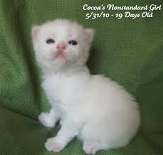 munchkins cats munchkin kittens classified by faucheux beautiful