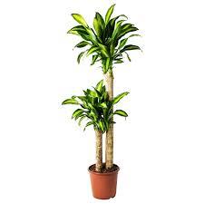 dracaena massangeana pflanze drachenbaum 2 stämme 24 cm