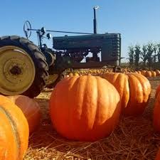 Pumpkin Patch Pasadena Area by Lil Tommy U0027s Pumpkin Patch 62 Photos U0026 13 Reviews Festivals