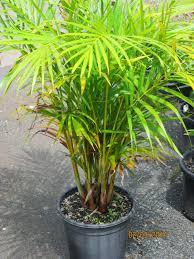 golden palm in pots the niche nursery march 2014