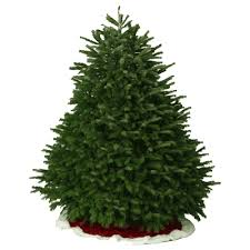 Nordmann Fir Christmas Tree Seedlings by Nordmann Fir Christmas Trees Valley View Christmas Trees
