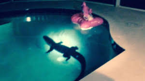 Couple Finds Alligator Swimming In Pool - YouTube 250pound Sea Turtle Rescued After Wandering Into Backyard Pool Natural Pools Swimming And Ponds Ssl 65 Our New Backyard Of The Day Youtube Baby Swims Across Cabin In Between Gatlinburg Pigeon Forg Vrbo Swim Up Bar Secluded Oasis Retreat Home With Spa Boogie Nights Scene Pool Wikidwelling Fandom Powered By Wikia Environmental Services Department Maricopa County Az Naked Woman Distracts Man While He Is Robbed Time The Millers