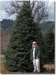 20 Foot Tall Nordmann Fir Christmas Tree