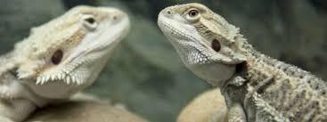 14 signs of an unhealthy bearded dragon bearded dragon care 101