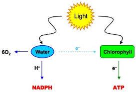 102 The light dependent reactions phosphorilation