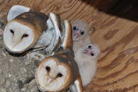 Young Barn Owls Are Growing Up! | Zookeeper Blog Barn Owl Focus On Cservation Best 25 Baby Ideas On Pinterest Beautiful Owls Barn Steal The Show As Day Turns To Night At Heartwood Family Ties Owl Chicks Let Their Hungry Siblings Eat First The Perch Uncommon Banchi Baby Coastal Home Giftware From Horizon Stock Image Image Of Small Young Looking 3249391 You Know Birdnote Banding By Alex Lamoreaux Nemesis Bird