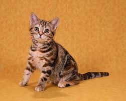 shorthair cat price american shorthair kittens pictures pictures of kittens