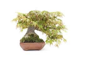 pot bonsai grande taille choisir un pot à bonsaï qui convient à un arbre bonsai empire