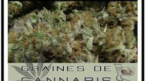 recolte cannabis exterieur date la récolte du cannabis vidéo dailymotion