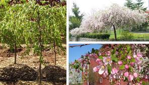 An Attractive Pink Flowering Weeping Crab With Disease Resistant Dark Green Glossy Foliage Strong Habit Will Work Well In Smaller Areas