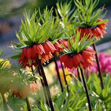fall planted bulbs blooming bulbs american