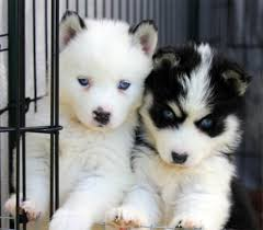 Do Pomskies Shed Fur by Teacup Pomeranian Husky We Had A Beautiful Litter Of Pomskys