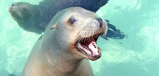 sea lions are coming to the aquarium