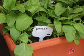 Spinach Greens Grown In Plastic Containers Home Garden - Download ... Home Vegetable Garden Tips Outdoor Decoration In House Design Fniture Decorating Simple Urnhome Small Garden Herb Brassica Allotment Greens Grown Sckfotos Orlando Couple Cited For Code Vlation Front Yard Best 25 Putting Green Ideas On Pinterest Backyard A Vibrantly Colorful Sunset Heres How To Save Time And Space By Vertical Gardening At Amazoncom The Simply Good Box By Simplest Way Extend Your Harvest Growing Coolweather Guide To Starting A