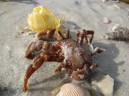 Do Hermit Crabs Shed Their Body by Hermit Crab U2013
