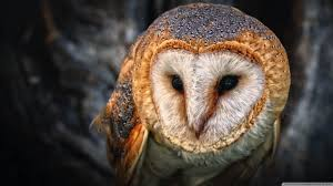 Barn Owl Wallpapers And Backgrounds Barn Owl United Kingdom Eurasian Eagleowl Wallpaper Studio 10 Tens Of Barn Owl Wallpapers And Backgrounds Pictures 72 Images By Faezza On Deviantart Bird Falconry One Animal Closeup Free Image Snowy Hd 78 Sits Pole Wooden Dove Birds Images Hd 169 High Wallpaper 1680x1050 11554 Free Backgrounds At Wildlife Monodomo 2 One Online 4k Desktop For Ultra Tv Wide