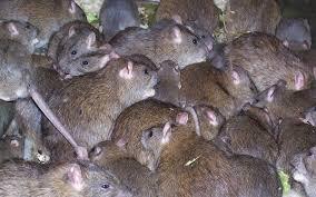 vitesse de multiplication et prolifération des souris et des rats