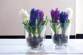 planting hyacinths tips diy network made remade diy