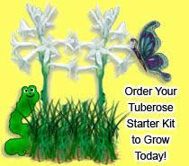 tennessee tuberoses order your tuberose starter kit