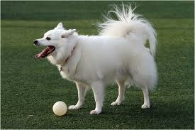 american eskimo dog breeders facts pictures puppies rescue