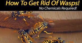 wasp get rid of solidaria garden