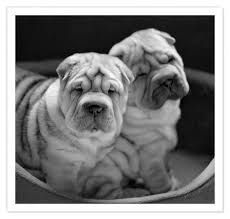 Do Shar Peis Shed A Lot by 153 Best Chinese Shar Pei Images On Pinterest Shar Pei Shar Pei