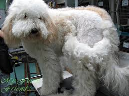 Excessive Hair Shedding In Dogs by Matted Fur Can Lead To Serious Health Risks Live Pant Play