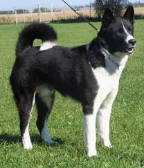 karelian bear dog breed info pictures characteristics