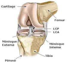 anatomie du genou orthopedie royan