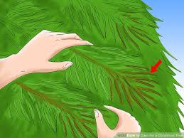Aspirin Keep Christmas Trees Alive by How To Care For A Christmas Tree 12 Steps With Pictures