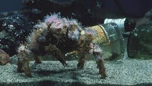 decorator crabs eat fish decorator crab kelp forest invertebrates loxorhynchus crispatus