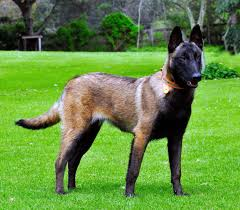 Do Black And Tan Coonhounds Shed by Belgian Malinois All Big Dog Breeds