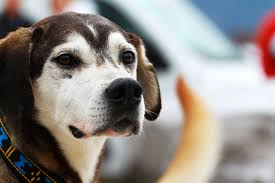 Do Hypoallergenic Dogs Still Shed by Allergic To Dogs Here U0027s How To Live With A Dog Anyway Policygenius