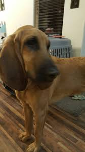 Black Mouth Cur Shed Hunting by 8 Months 2016 Bloodhounds Our Leroy Pinterest Bloodhound