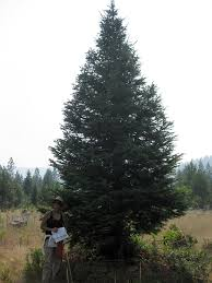 SOLD Large Real Christmas Tree 2